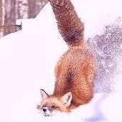 chestnut fox